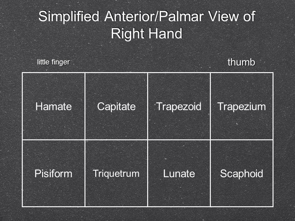 Simplified Anterior/Palmar View of Right Hand HamateCapitateTrapezoidTrapezium Pisiform Triquetrum LunateScaphoid thumb little finger