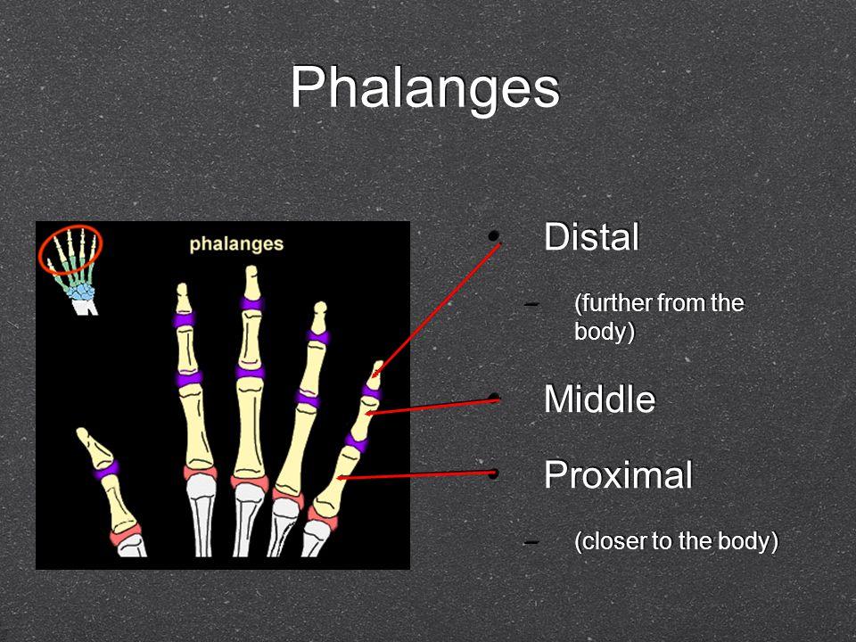 Movement of the Fingers (Metacarpophalangeal Joint) Fingers –a.