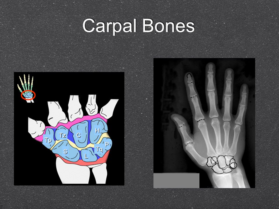 Eight total Two rows Proximal (closer to the body) Distal (further from the body) Eight total Two rows Proximal (closer to the body) Distal (further from the body)