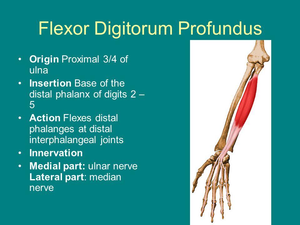 Flexor Digitorum Profundus Origin Proximal 3/4 of ulna Insertion Base of the distal phalanx of digits 2 – 5 Action Flexes distal phalanges at distal interphalangeal joints Innervation Medial part: ulnar nerve Lateral part: median nerve
