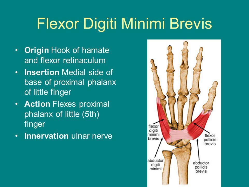 Flexor Digiti Minimi Brevis Origin Hook of hamate and flexor retinaculum Insertion Medial side of base of proximal phalanx of little finger Action Flexes proximal phalanx of little (5th) finger Innervation ulnar nerve