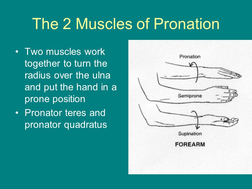 The 2 Muscles of Pronation Two muscles work together to turn the radius over the ulna and put the hand in a prone position Pronator teres and pronator