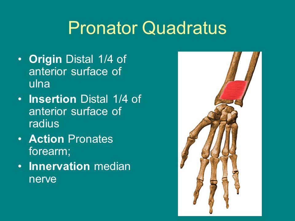 Pronator Quadratus Origin Distal 1/4 of anterior surface of ulna Insertion Distal 1/4 of anterior surface of radius Action Pronates forearm; Innervation median nerve