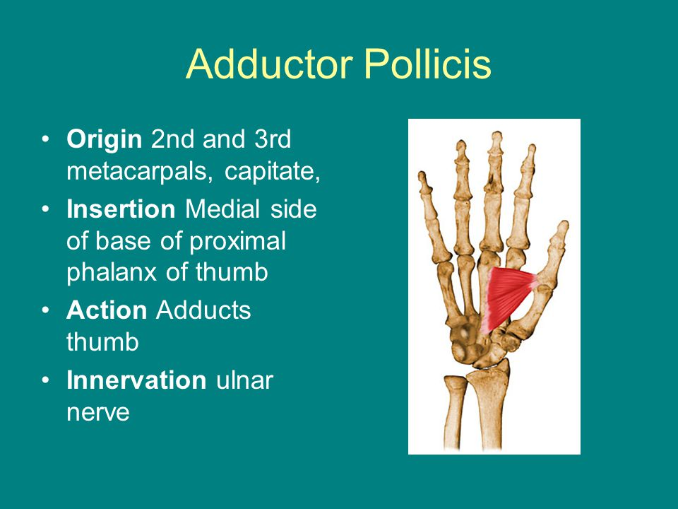 Adductor Pollicis Origin 2nd and 3rd metacarpals, capitate, Insertion Medial side of base of proximal phalanx of thumb Action Adducts thumb Innervatio
