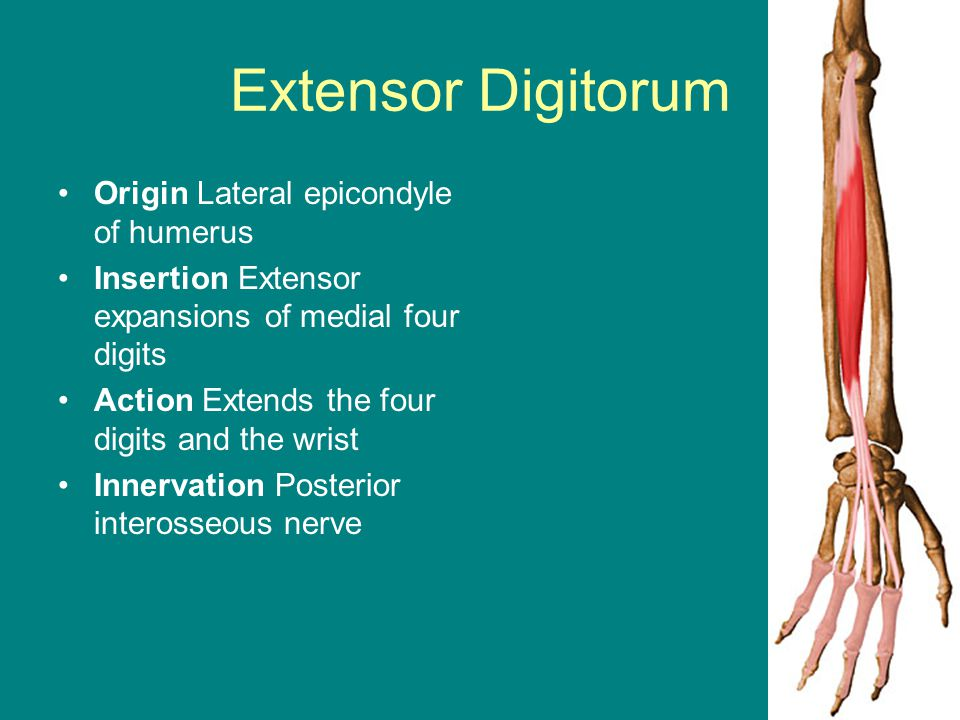 Extensor Digitorum Origin Lateral epicondyle of humerus Insertion Extensor expansions of medial four digits Action Extends the four digits and the wri