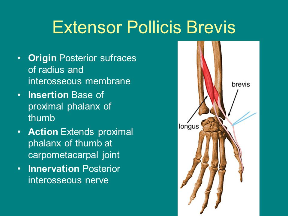 Extensor Pollicis Brevis Origin Posterior sufraces of radius and interosseous membrane Insertion Base of proximal phalanx of thumb Action Extends proximal phalanx of thumb at carpometacarpal joint Innervation Posterior interosseous nerve
