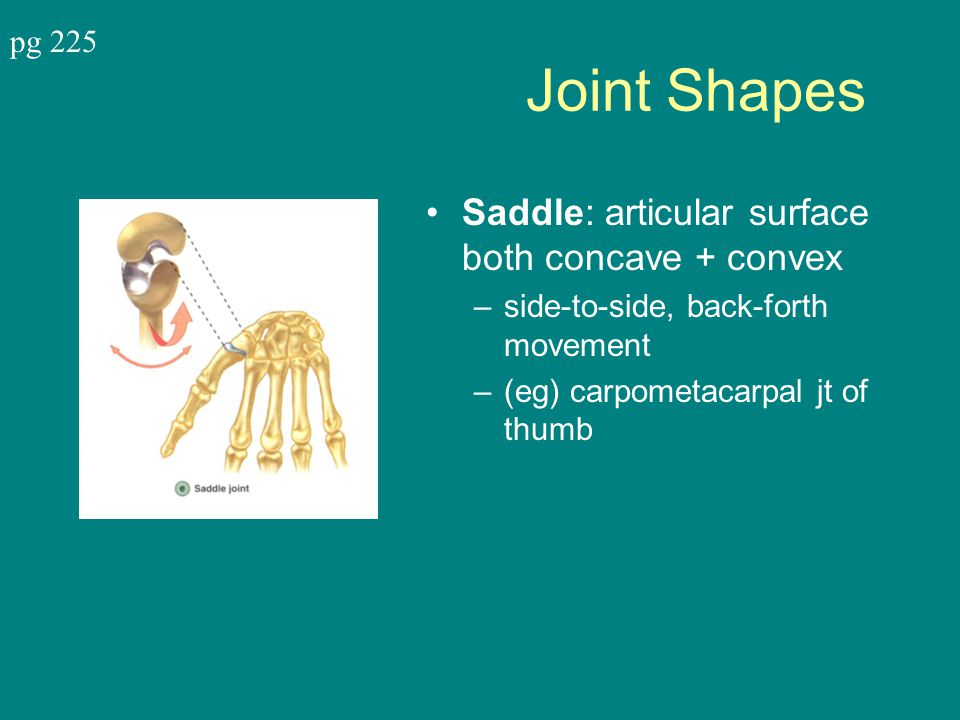 Joint Shapes Saddle: articular surface both concave + convex –side-to-side, back-forth movement –(eg) carpometacarpal jt of thumb pg 225