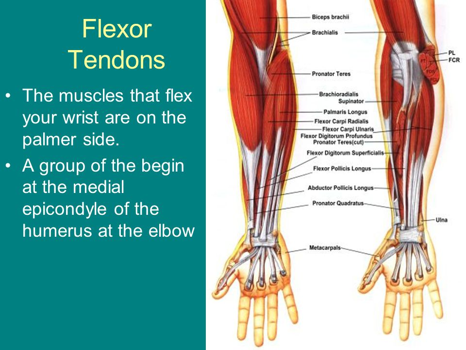 Flexor Tendons The muscles that flex your wrist are on the palmer side. A group of the begin at the medial epicondyle of the humerus at the elbow