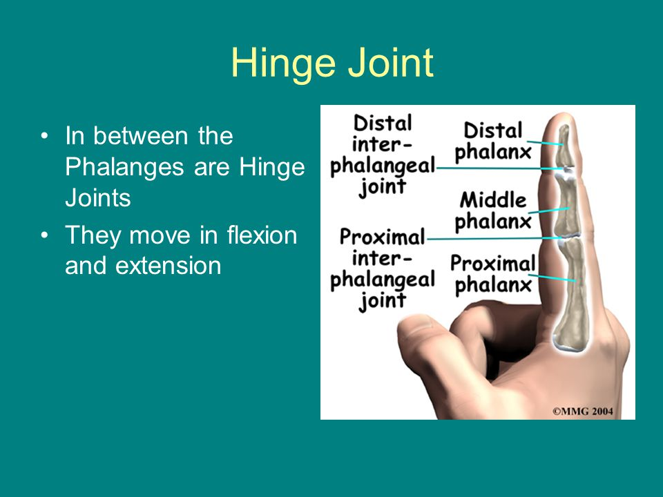 Hinge Joint In between the Phalanges are Hinge Joints They move in flexion and extension
