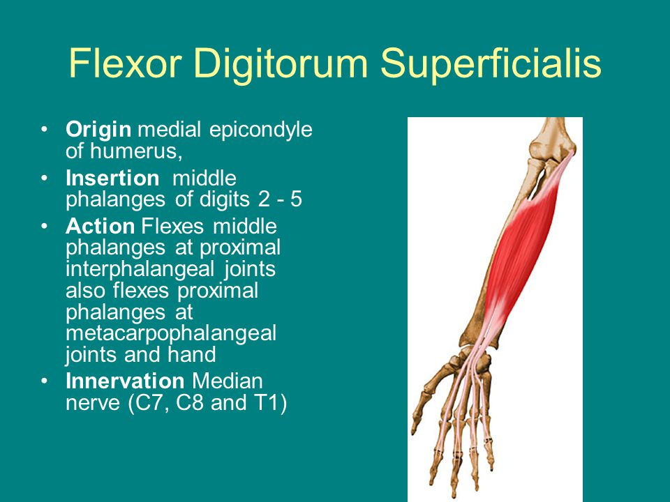 Flexor Digitorum Superficialis Origin medial epicondyle of humerus, Insertion middle phalanges of digits 2 - 5 Action Flexes middle phalanges at proximal interphalangeal joints also flexes proximal phalanges at metacarpophalangeal joints and hand Innervation Median nerve (C7, C8 and T1)