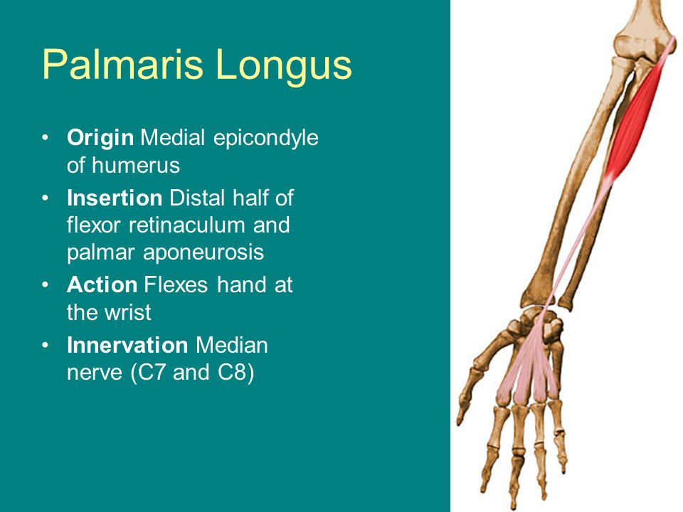Palmaris Longus Origin Medial epicondyle of humerus Insertion Distal half of flexor retinaculum and palmar aponeurosis Action Flexes hand at the wrist