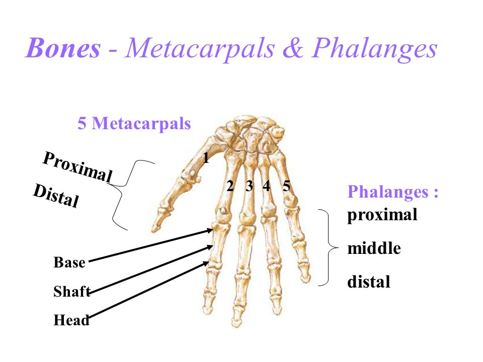 Extensor Carpi Radialis Longus O: Lateral Epicondyle of Humerus I: Base of 2nd metacarpal A: Extension of wrist Abduction of wrist (radial deviation)