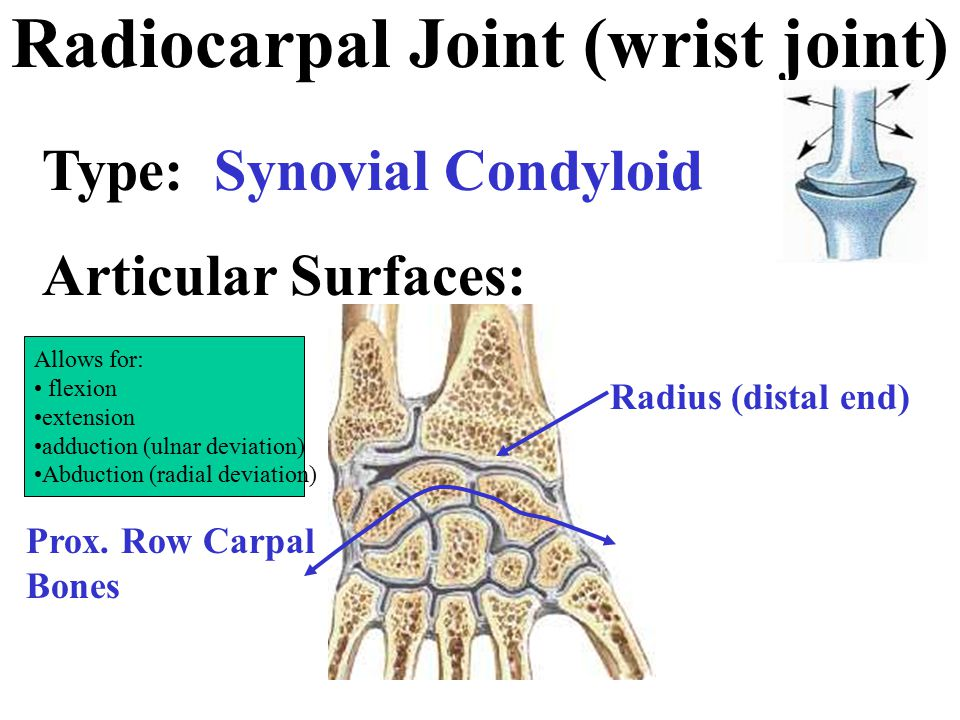 Motion - Wrist Joint Abduction (radial deviation) Adduction (ulnar deviation) And of course, circumduction