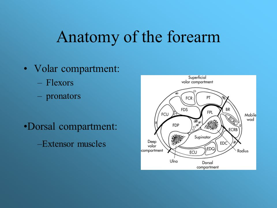 Anatomy of the forearm Volar compartment: –Flexors –pronators Dorsal compartment: –Extensor muscles