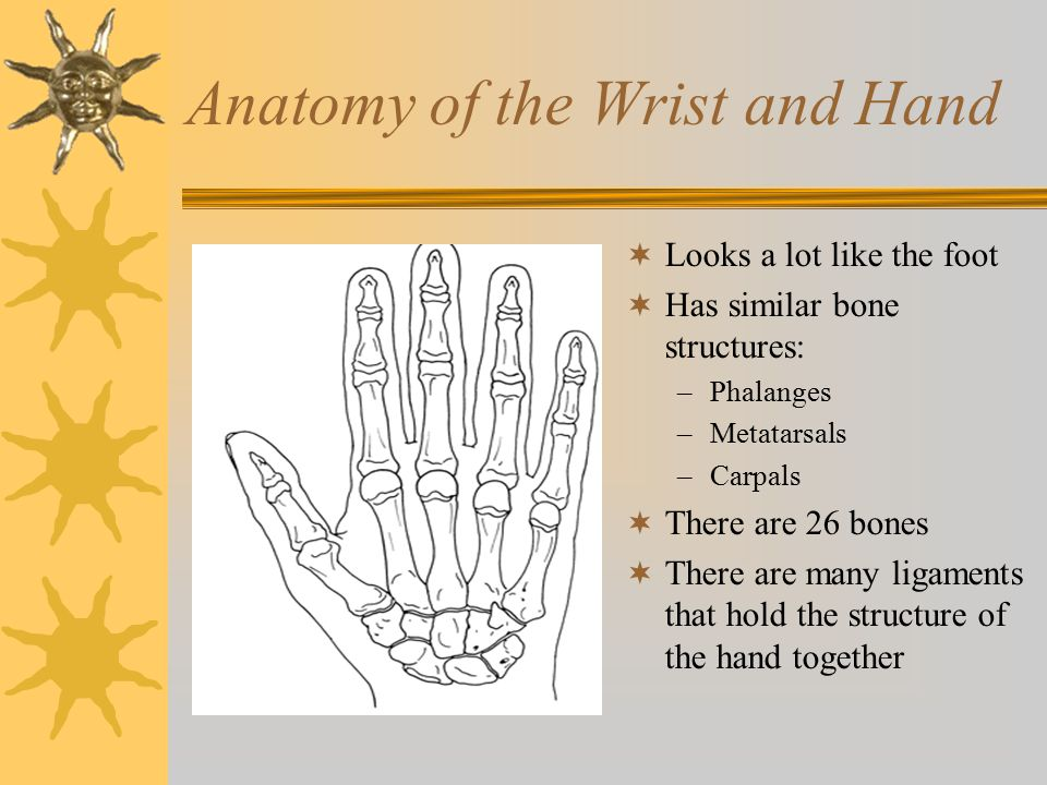Anatomy of the Wrist and Hand  Looks a lot like the foot  Has similar bone structures: –Phalanges –Metatarsals –Carpals  There are 26 bones  There