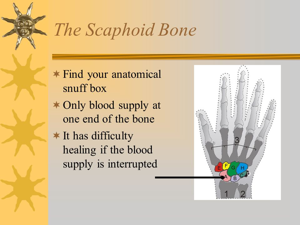 The Scaphoid Bone  Find your anatomical snuff box  Only blood supply at one end of the bone  It has difficulty healing if the blood supply is inter