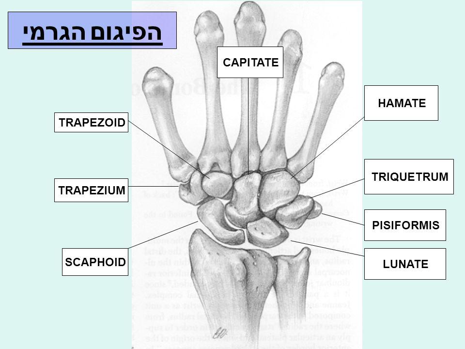 הערכה רנטגנית של עצמות קרפליות