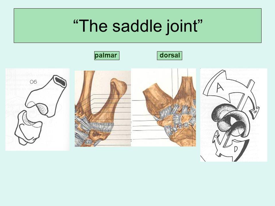 dorsalpalmar The saddle joint