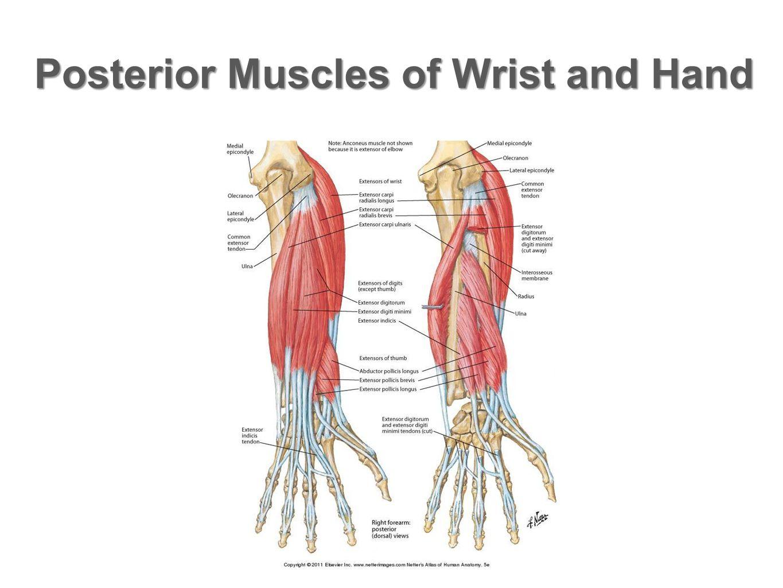 Range of Motion of the Thumb  Thumb: CMCJ flexion: 60-70 degrees Flexion at MCPJ: 85-105 degrees Abduction: 70-80 degrees Opposition- combined motion of abduction, flexion, and rotation of the thumb.