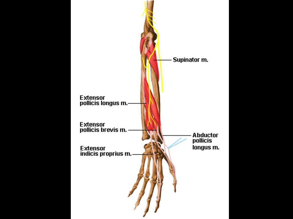 b.Deep 1. Extensor pollicis brevis and longus- extend thumb and abduct wrist a.