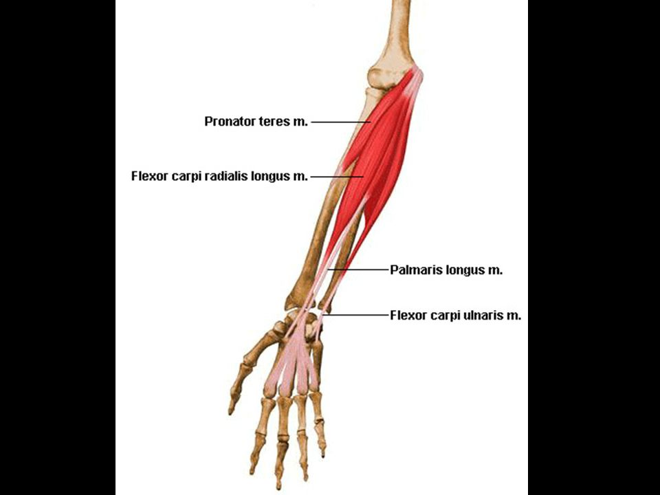 E.Muscles moving the wrist hands and fingers 1. Anterior muscles a.