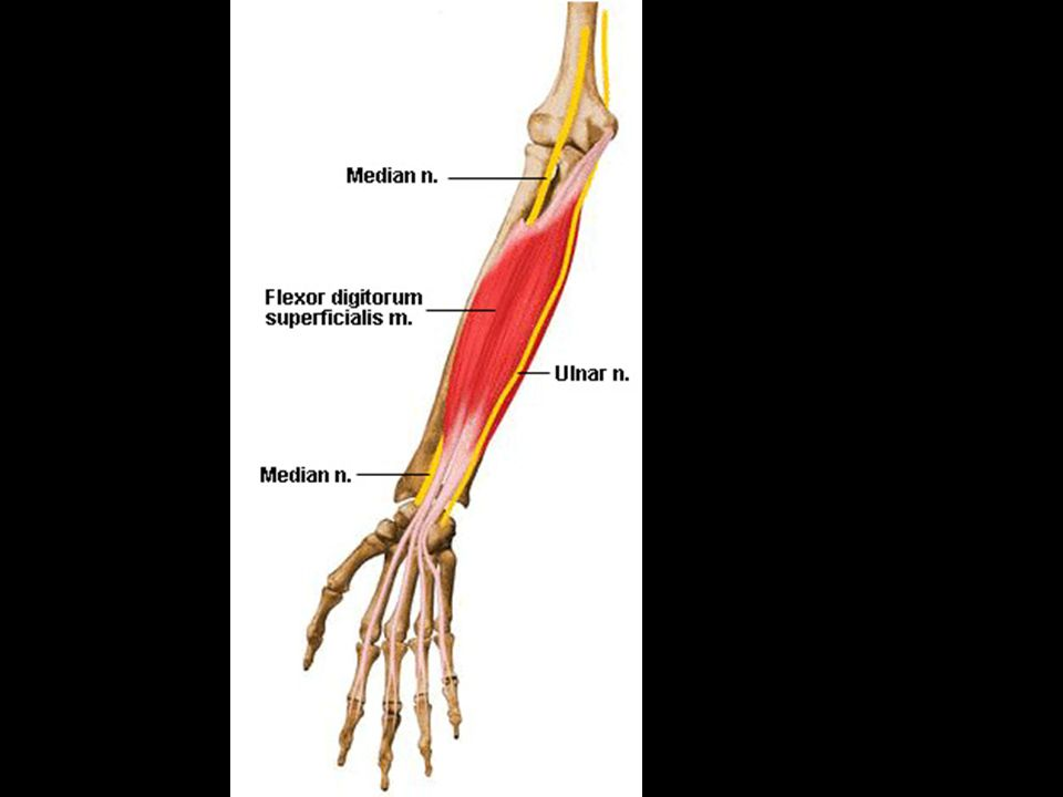 3.Flexor digitorum superficialis- flexes middle phalanges of each finger a.