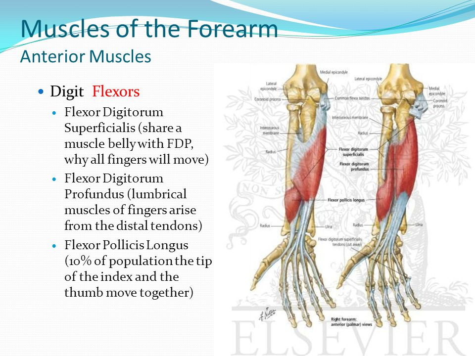 Muscles of the Forearm Anterior Muscles Digit Flexors Flexor Digitorum Superficialis (share a muscle belly with FDP, why all fingers will move) Flexor