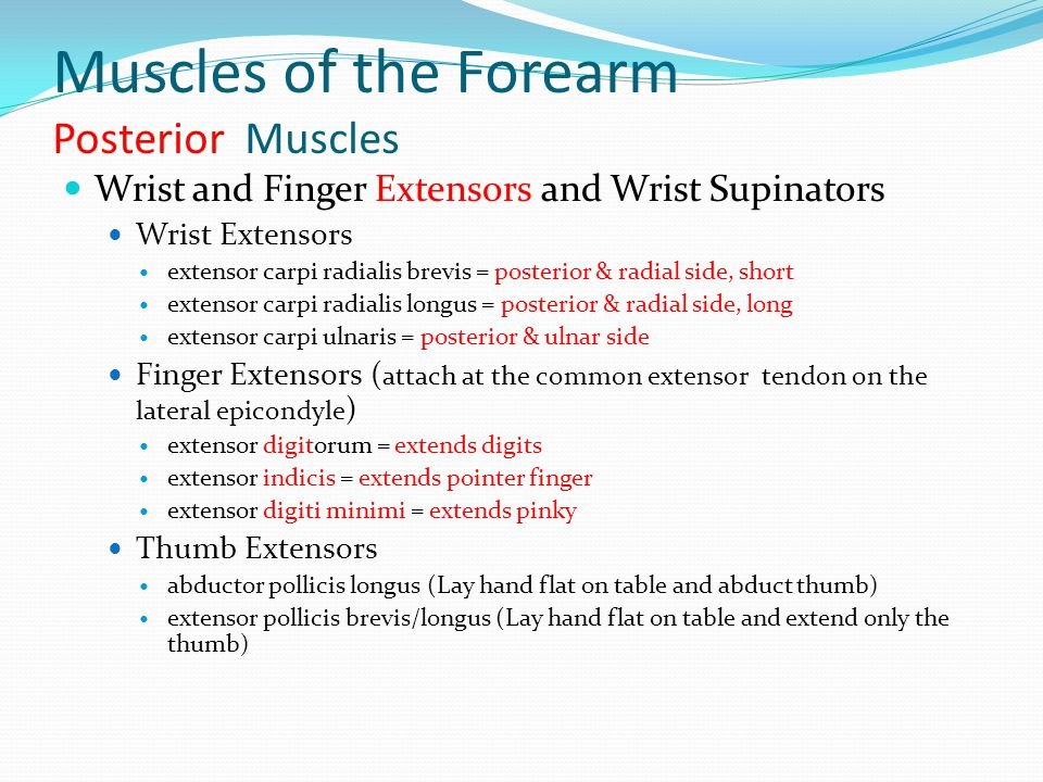 Muscles of the Forearm Posterior Muscles Wrist and Finger Extensors and Wrist Supinators Wrist Extensors extensor carpi radialis brevis = posterior &