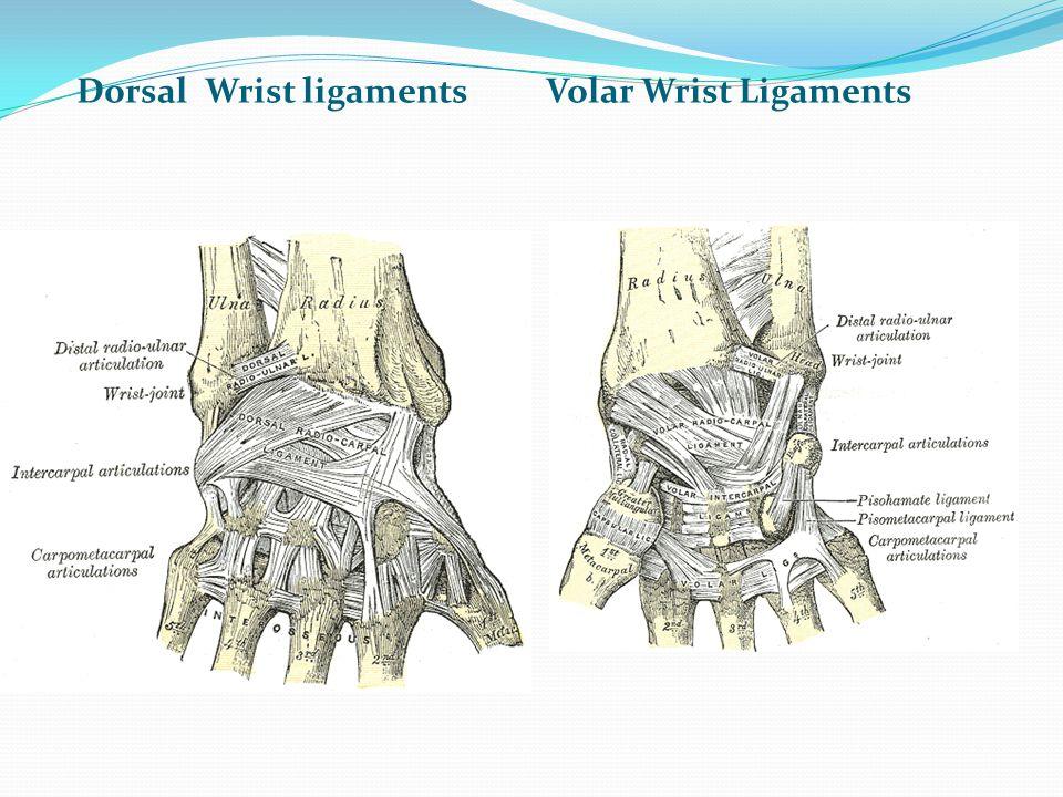 Dorsal Wrist ligaments Volar Wrist Ligaments