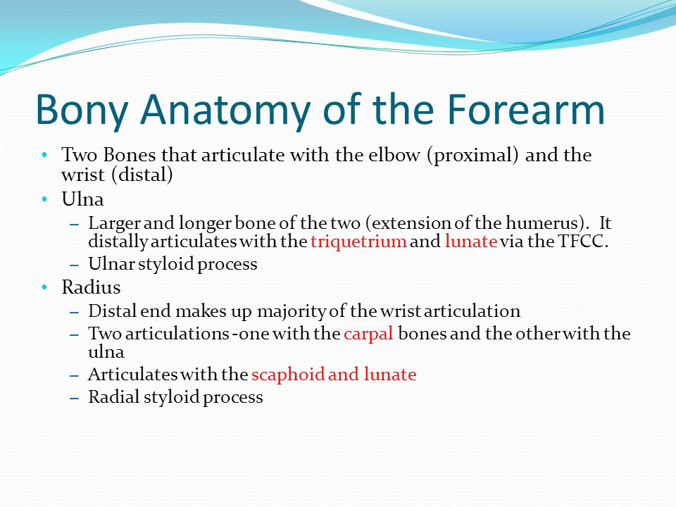 Bony Anatomy of the Forearm Two Bones that articulate with the elbow (proximal) and the wrist (distal) Ulna – Larger and longer bone of the two (exten