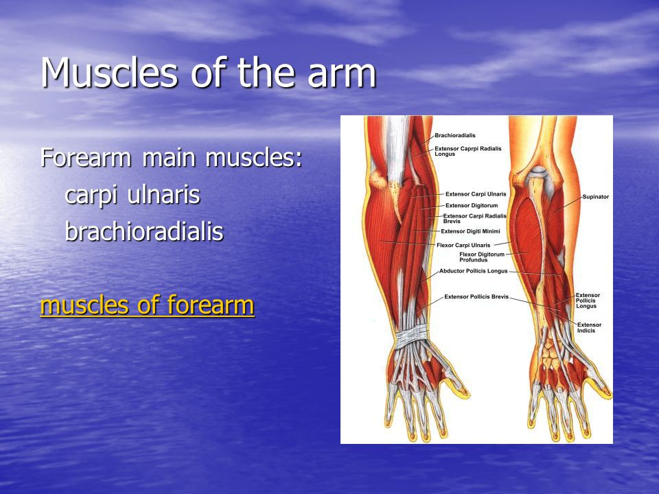 Muscles of the arm Forearm main muscles: carpi ulnaris brachioradialis muscles of forearm muscles of forearm