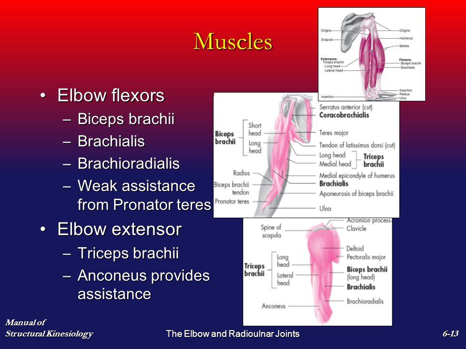 Muscles Elbow flexorsElbow flexors –Biceps brachii –Brachialis –Brachioradialis –Weak assistance from Pronator teres Elbow extensorElbow extensor –Tri