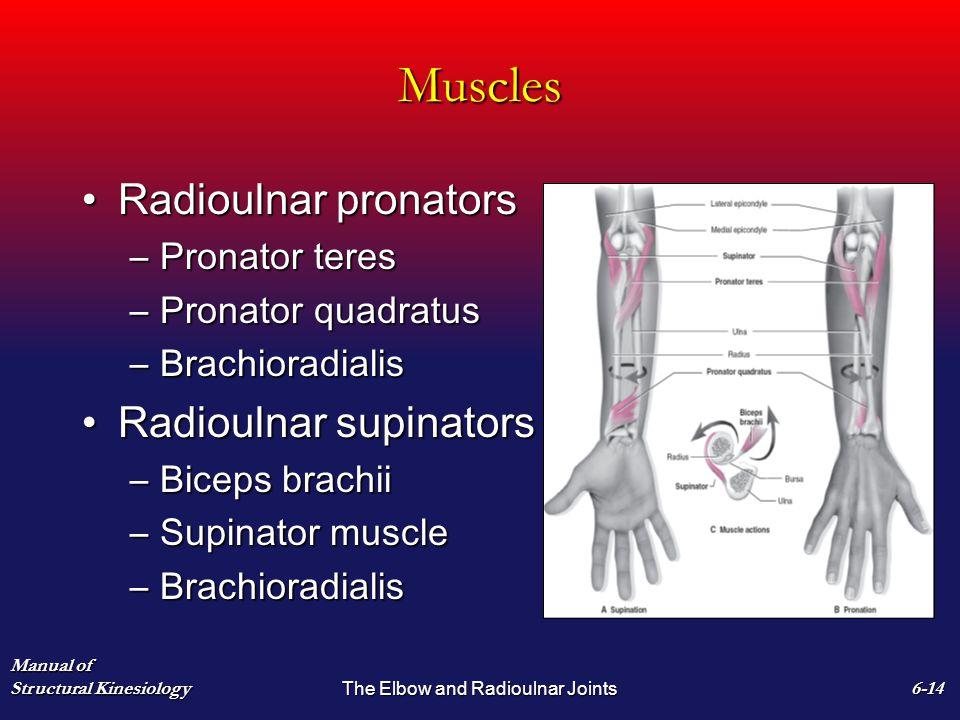 Muscles Radioulnar pronatorsRadioulnar pronators –Pronator teres –Pronator quadratus –Brachioradialis Radioulnar supinatorsRadioulnar supinators –Bice