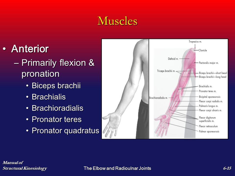 Muscles AnteriorAnterior –Primarily flexion & pronation Biceps brachiiBiceps brachii BrachialisBrachialis BrachioradialisBrachioradialis Pronator tere