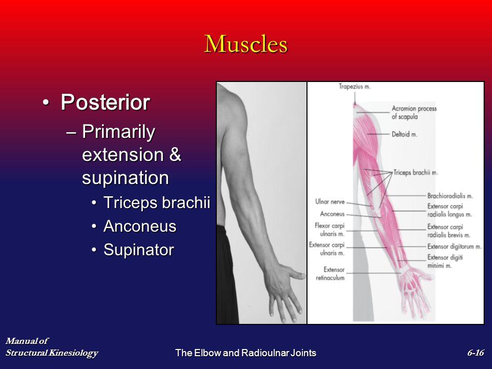 Muscles PosteriorPosterior –Primarily extension & supination Triceps brachiiTriceps brachii AnconeusAnconeus SupinatorSupinator Manual of Structural K