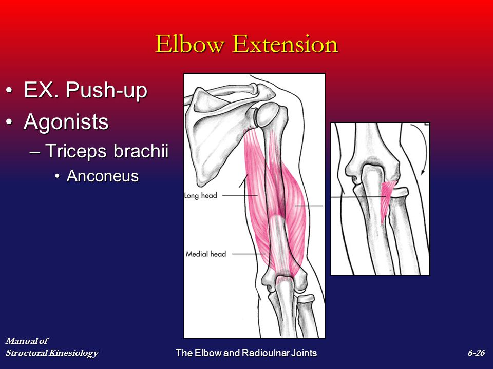 Elbow Extension EX. Push-upEX. Push-up AgonistsAgonists –Triceps brachii AnconeusAnconeus Manual of Structural Kinesiology The Elbow and Radioulnar Jo