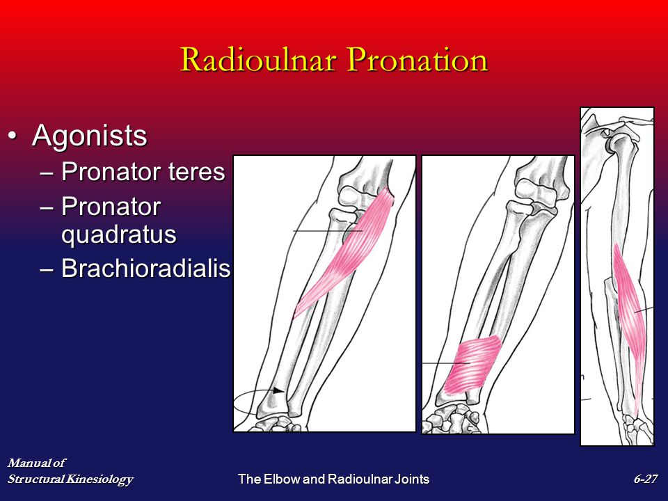 Radioulnar Pronation AgonistsAgonists –Pronator teres –Pronator quadratus –Brachioradialis Manual of Structural Kinesiology The Elbow and Radioulnar Joints 6-27
