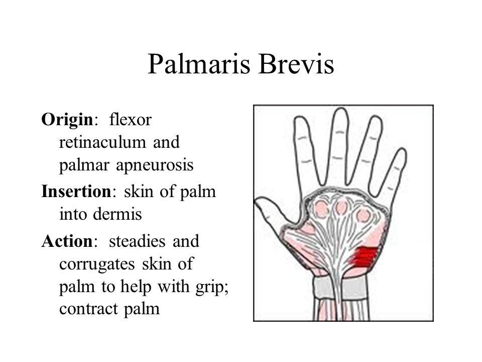 Palmaris Brevis Origin: flexor retinaculum and palmar apneurosis Insertion: skin of palm into dermis Action: steadies and corrugates skin of palm to help with grip; contract palm