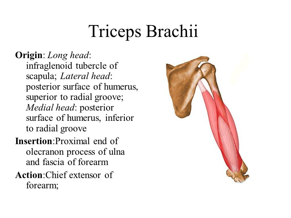 Triceps Brachii Origin: Long head: infraglenoid tubercle of scapula; Lateral head: posterior surface of humerus, superior to radial groove; Medial head: posterior surface of humerus, inferior to radial groove Insertion:Proximal end of olecranon process of ulna and fascia of forearm Action:Chief extensor of forearm;