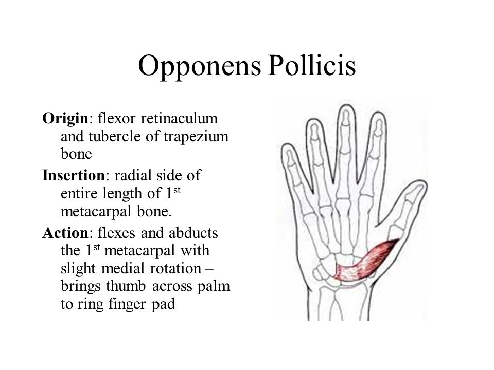 Opponens Pollicis Origin: flexor retinaculum and tubercle of trapezium bone Insertion: radial side of entire length of 1 st metacarpal bone.