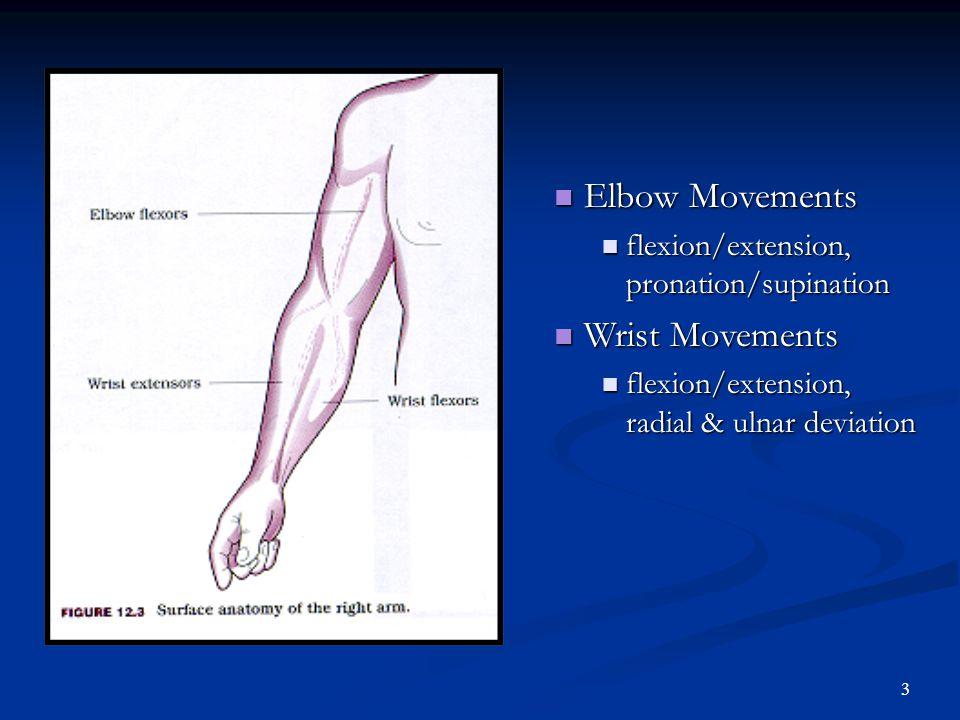 2 Elbow Bones Humerus Ulna Radus Ligaments Ulnar Collateral Annular Ligament Interossius Membrane Joints Humeroulnar, Humeroradial Radialulnar