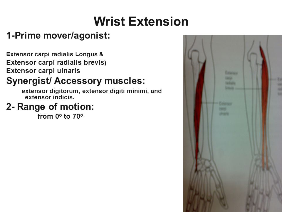 Wrist Extension 1-Prime mover/agonist: Extensor carpi radialis Longus & Extensor carpi radialis brevis ) Extensor carpi ulnaris Synergist/ Accessory m