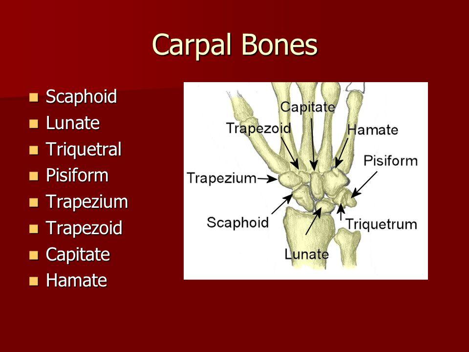 Carpal Bones Scaphoid Scaphoid Lunate Lunate Triquetral Triquetral Pisiform Pisiform Trapezium Trapezium Trapezoid Trapezoid Capitate Capitate Hamate Hamate
