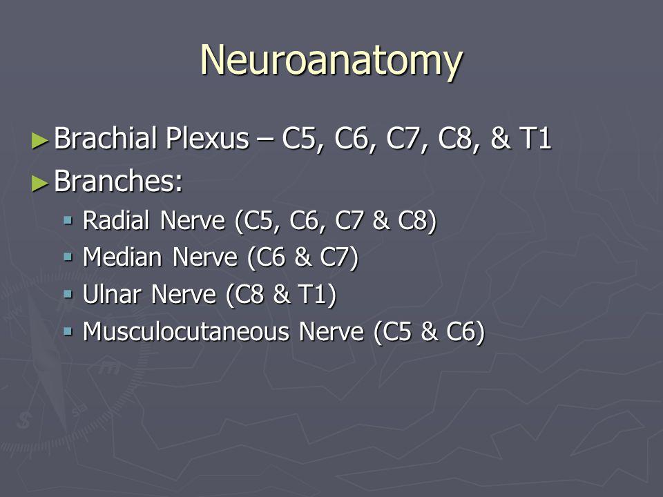 Neuroanatomy ► Brachial Plexus – C5, C6, C7, C8, & T1 ► Branches:  Radial Nerve (C5, C6, C7 & C8)  Median Nerve (C6 & C7)  Ulnar Nerve (C8 & T1) 