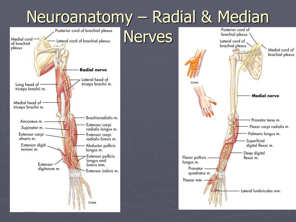 Neuroanatomy – Radial & Median Nerves