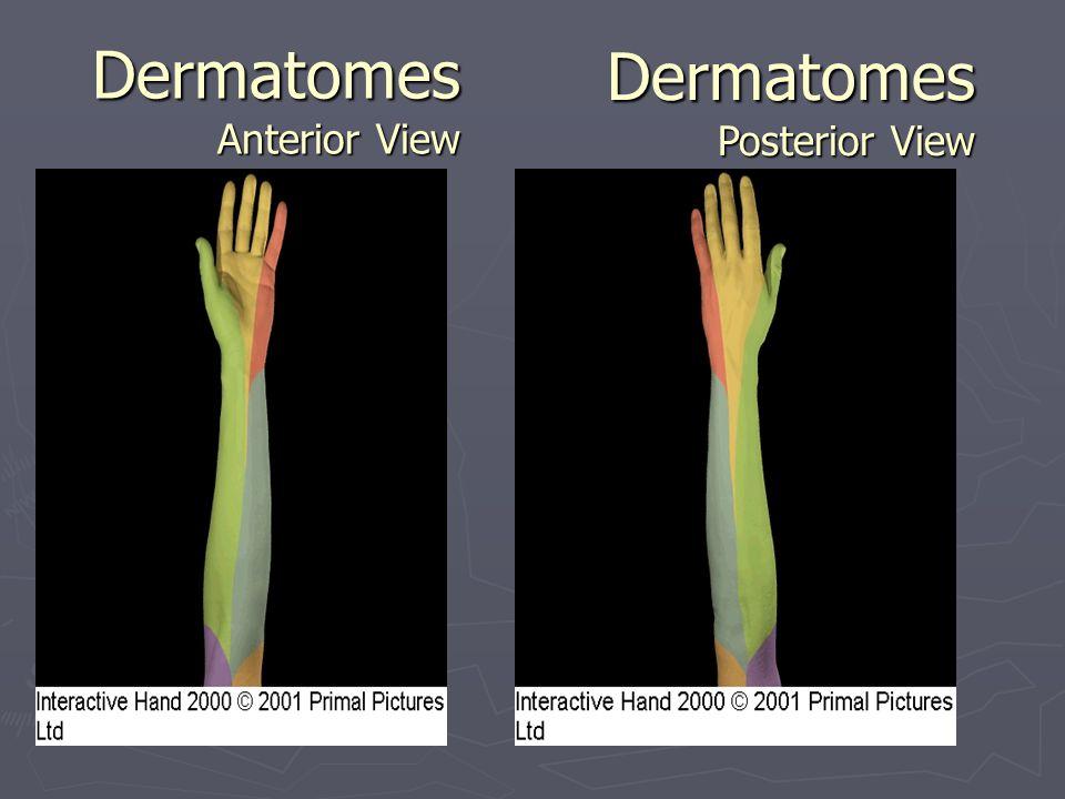Dermatomes Anterior View Dermatomes Posterior View
