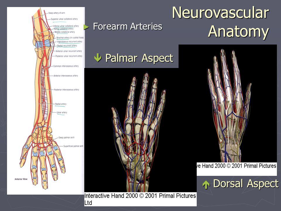 Neurovascular Anatomy ► Forearm Arteries  Palmar Aspect  Dorsal Aspect