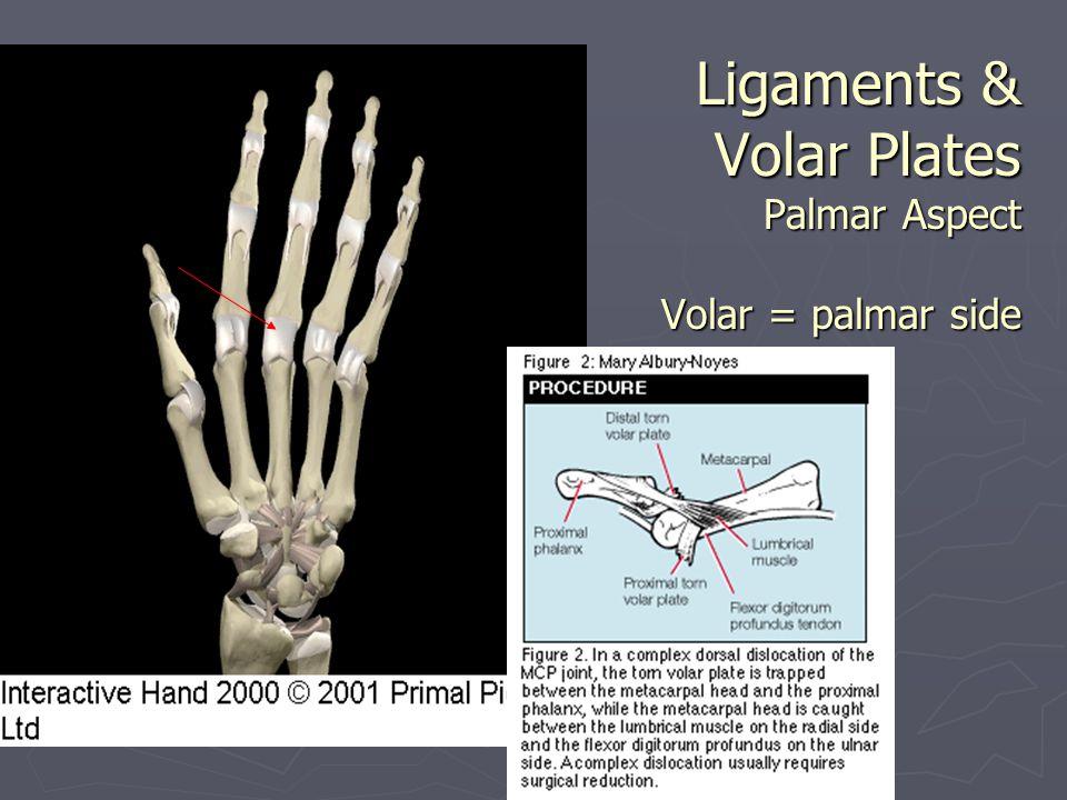 Ligaments & Volar Plates Palmar Aspect Volar = palmar side