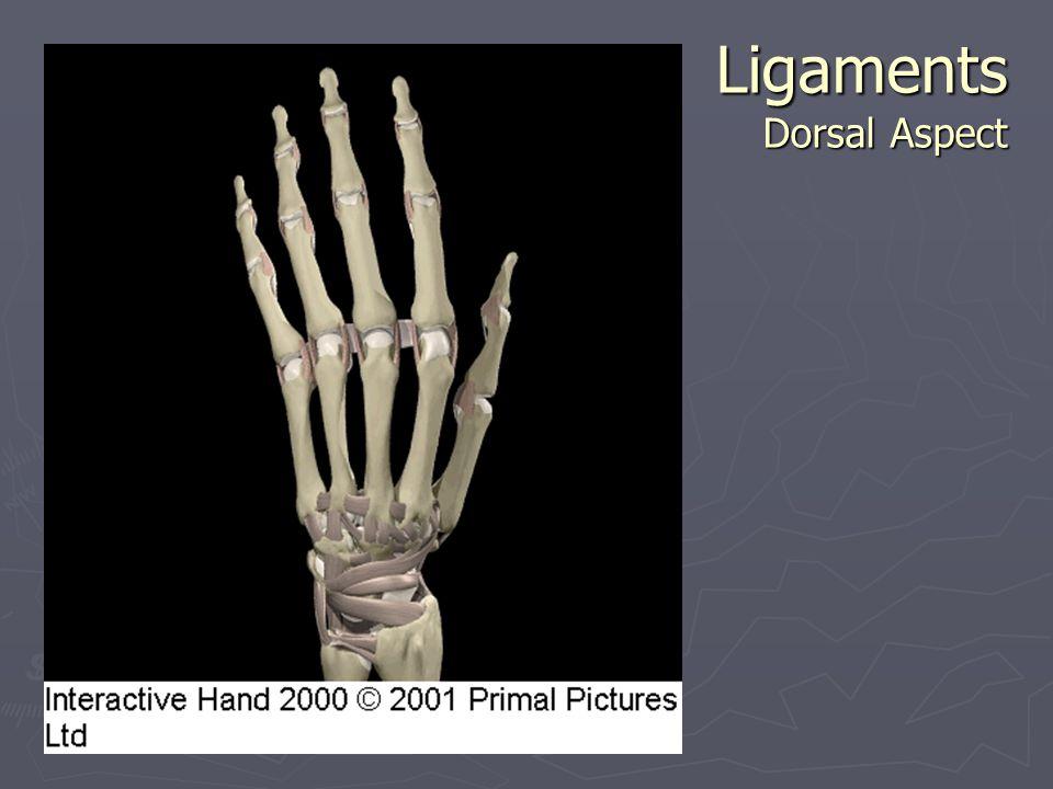 Ligaments Dorsal Aspect