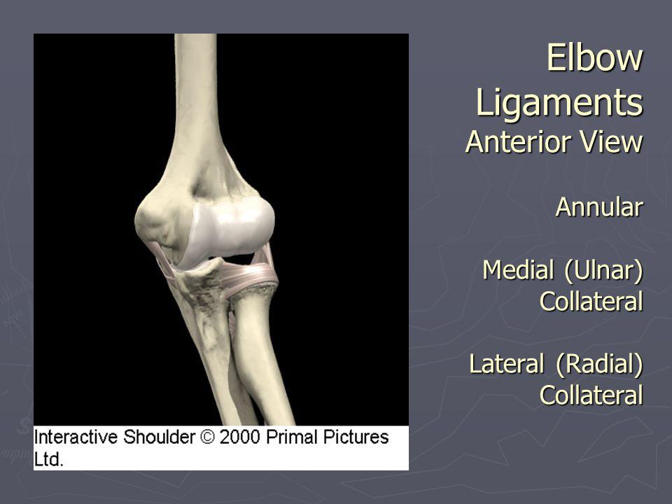 Muscles - Elbow ► Flexion  Biceps Brachii  Brachialis  Brachioradialis  **Pronator Teres - weak